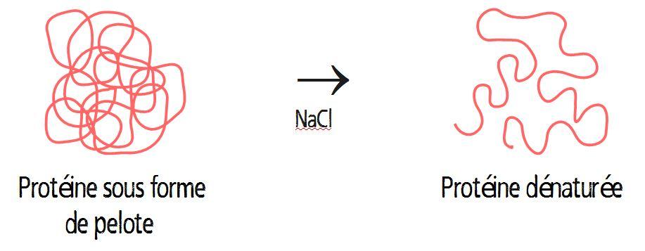 dénaturation des protéines par le sel NaCl