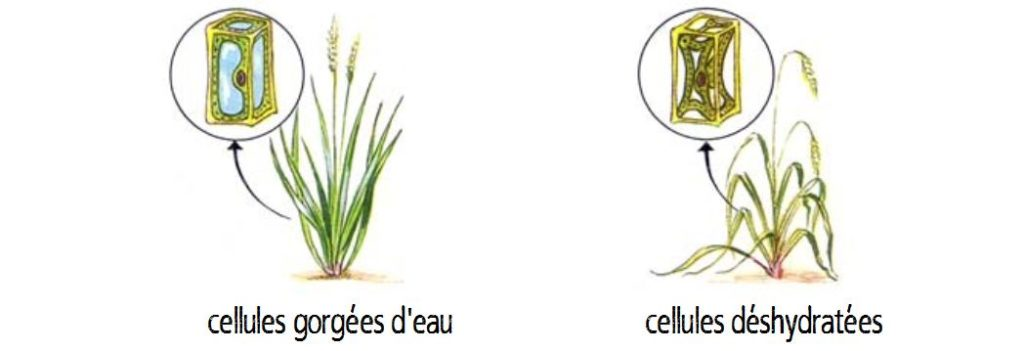 végétaux déshydratés par le sel